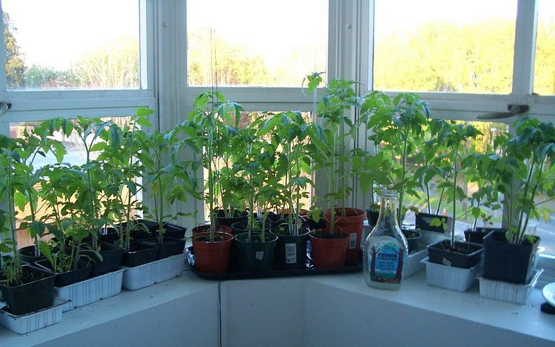 Рассада томатов у окна